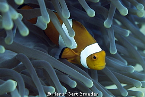 Clownfish,